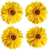 Yellow chrysanthemum flowers. Flower collection isolated on white, clipping path Stock Image