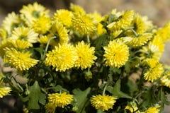 Yellow Chrysanthemum flowers in autumn garden Royalty Free Stock Photos