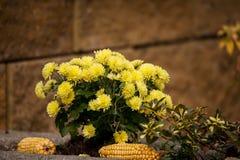 Yellow Chrysanthemum flowers in autumn garden Stock Photos