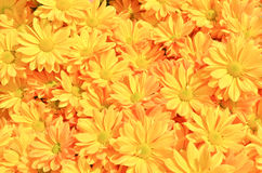 Yellow Chrysanthemum flowers background Stock Photo