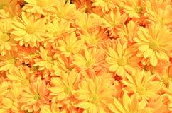 Yellow Chrysanthemum flowers background Stock Photo