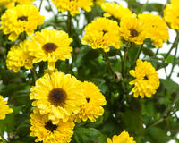 Yellow chrysanthemum flowers in bloom. With green leaves Royalty Free Stock Photos