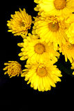 yellow chrysanthemum flowers Stock Images