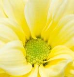 Yellow Chrysanthemum Flowers. Stock Image