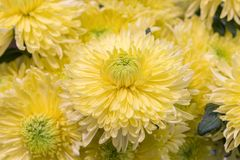 Yellow chrysanthemum flowers. Yellow flower in the garden. gardening, botany, floristry, texture and flora concept - beautiful. Chrysanthemums flowers royalty free stock photo