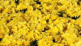 Yellow chrysanthemum flowers Royalty Free Stock Image