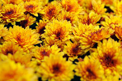 Yellow chrysanthemum flowers at the flowerbed Stock Image