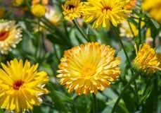 Yellow chrysanthemum flowers in the garden. Stock Photos