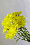 Yellow chrysanthemum flowers Stock Photos