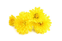 Yellow chrysanthemum flowers Royalty Free Stock Photography