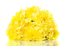 Yellow chrysanthemum flowers.isolated on white background Stock Images