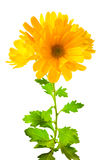 Yellow chrysanthemum flowers with leaves, isolated on white Stock Photo