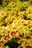 Yellow Chrysanthemum flowers Royalty Free Stock Photo