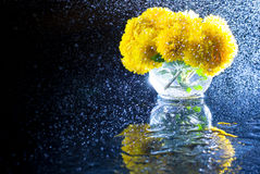 Yellow chrysanthemum flowers in a round glass vase with bright splashes of water on a dark background with mirror reflection. Royalty Free Stock Image