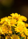 Yellow Chrysanthemum flowers. Some blooming pink chrysanthemum flowers Stock Images