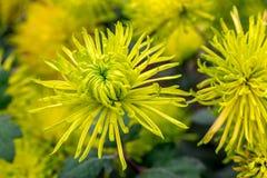 Yellow Chrysanthemum flowers Stock Image