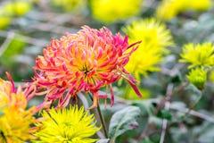 Yellow Chrysanthemum flowers Stock Images