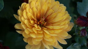 Yellow chrysanthemum. Ideally for desktop Royalty Free Stock Image