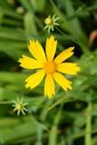 Yellow  Chrysanthemum INDICUM flower Stock Images