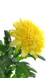 Yellow chrysanthemum isolated. Yellow chrysanthemum flower isolated on white background Royalty Free Stock Photo