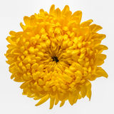 Yellow chrysanthemum isolated Royalty Free Stock Photography