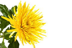 Yellow chrysanthemum isolated on white Stock Photos