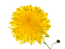 Yellow chrysanthemum is  isolated on white Stock Image