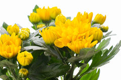 Yellow chrysanthemum isolated on white Royalty Free Stock Photos