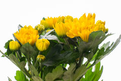 Yellow chrysanthemum isolated on white Stock Photos
