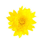 Yellow chrysanthemum isolated on white background Royalty Free Stock Image