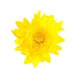 Yellow chrysanthemum isolated on white background Royalty Free Stock Image