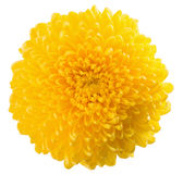 Yellow chrysanthemum isolated on the white background Royalty Free Stock Photos