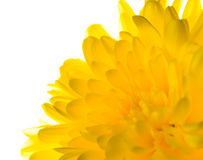 Yellow chrysanthemum is  isolated on white background Royalty Free Stock Photography