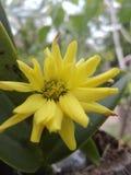 Yellow Chrysanthemum krisan Stock Images