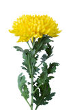 Yellow chrysanthemum. On a long stem with green leaves royalty free stock photo
