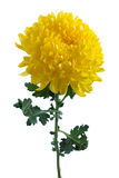 Yellow chrysanthemum. On a long stem with green leaves Stock Photography