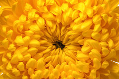 Yellow chrysanthemum macro Royalty Free Stock Images