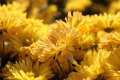 Yellow chrysanthemum in the Nikitskiy botanical garden, Crimeaskiy botanical garden, Crimea Stock Photos