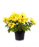 Yellow chrysanthemum in a pot. On a white background Royalty Free Stock Photography