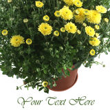 Yellow chrysanthemum in a pot isolated Stock Images