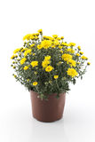 Yellow Chrysanthemum Potted Stock Photography