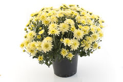 Yellow Chrysanthemum Potted Isolated on White Stock Image