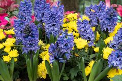 Yellow chrysanthemum, purple hyacinth flower in garden. blooming. Flora. flowerbed in park. blossom in spring Royalty Free Stock Images