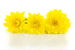 Yellow chrysanthemum and shadow effect Stock Images