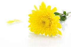 Yellow chrysanthemum and shadow effect Royalty Free Stock Photography