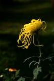 Yellow chrysanthemum Stock Image