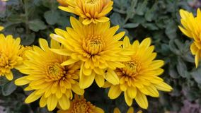 Yellow chrysanthemum in the spring Royalty Free Stock Photos