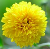 Yellow Chrysanthemum in Sri Lanka stock image