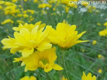 Yellow Chrysanthemum on a Summertime Royalty Free Stock Photography