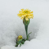 Yellow Chrysanthemum Surrounded by Snow stock image